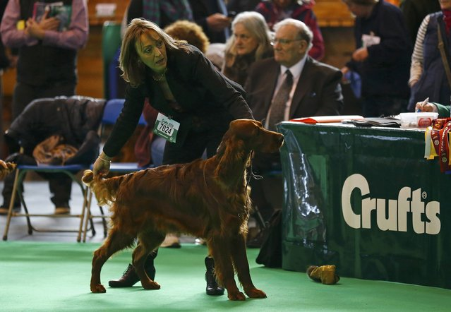 Dee Milligan-Bott who claimed her dog was poisoned at Crufts 2015, shows an Irish Setter the second day of the Crufts Dog Show in Birmingham, Britain March 11, 2016. (Photo by Darren Staples/Reuters)