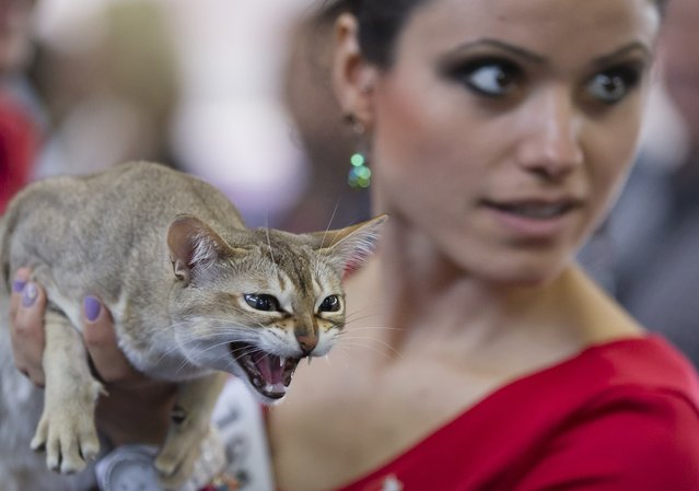 A Singapura hisses after being examined by a judge in Bucharest, Romania, Sunday, April 26, 2015. More than 250 cats entered the international feline beauty competition in the Romanian capital. (Photo by Vadim Ghirda/AP Photo)