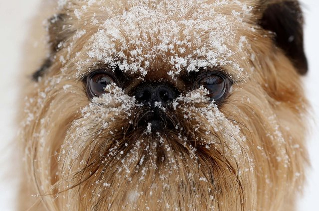 Snow rests on the face of Camper, during a midday walk by the Hounds on the Hudson dog day care center in Albany, New York. (Photo by Mike Groll/Associated Press)