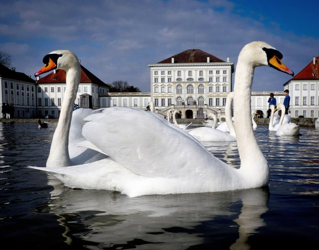 Swans glide over a small pond in front of the Nymphenburg Castle in Munich, southern Germany, on a warm Sunday, April 7, 2019. (Photo by Michael Probst/AP Photo)