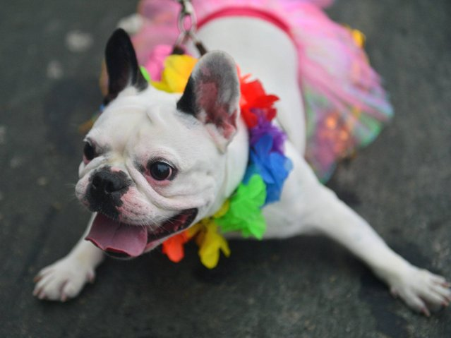 About 100 dogs have had their day at a pre-Carnival bash in Rio de Janeiro. (Photo by Christophe Simon/AFP Photo)
