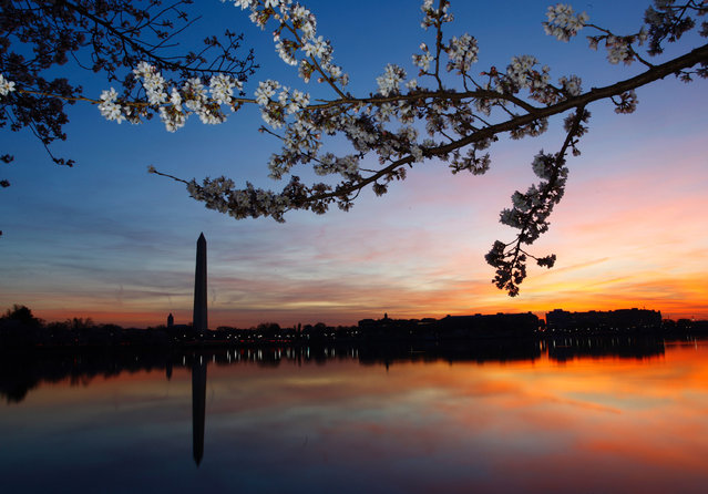 Cherry blossoms are in bloom along the Tidal Basin in Washington,DC on March 24, 2016. (Photo by Marc-Antoine Baudoux/AFP Photo)