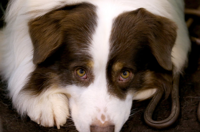 A Collie dog waits to be shown on the first day of Crufts dog show at the NEC on March 6, 2014 in Birmingham, England. (Photo by Matt Cardy/Getty Images)
