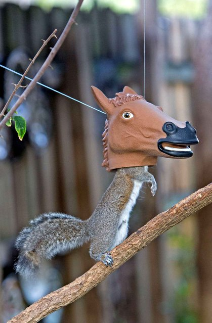 Photographer Jim Zielinski from Florida, USA, captured this hilarious moment when a squirrel spied a tasty treat inside a novelty horse's head bird feeder in his back garden. (Photo by Jim Zielinski/Caters News)