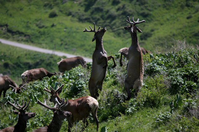 """Deers graze at """"Alatau Maraly"""" farm in Kasymbek gorge, Almaty region,Kazakhstanon May 31, 2019.Maral stags at this private farm undergo an annual cutting off their antlers to be sold to pharmaceutical companies. (Photo by Pavel Mikheyev/Reuters)"""