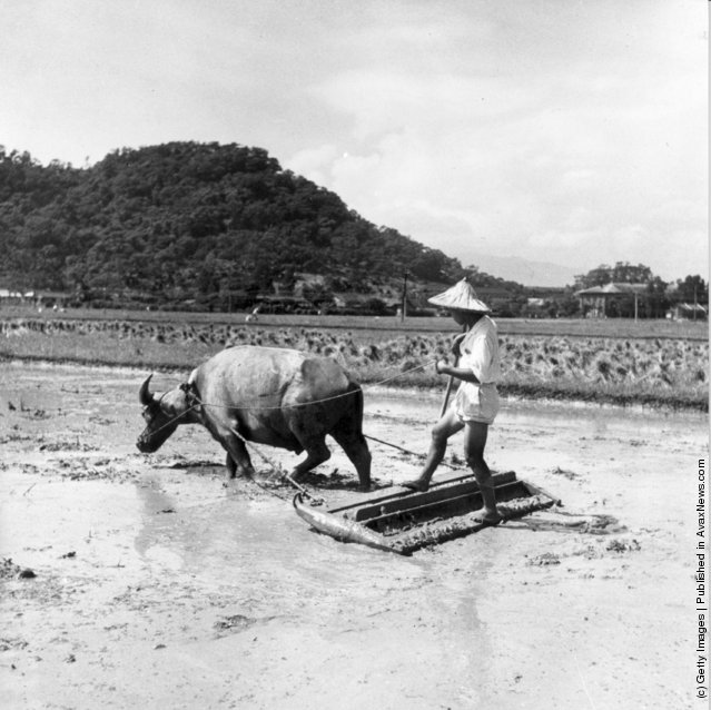 1955: A farm worker ploughing a rice paddy with a plough pulled by a water buffalo in Taiwan (Formosa)