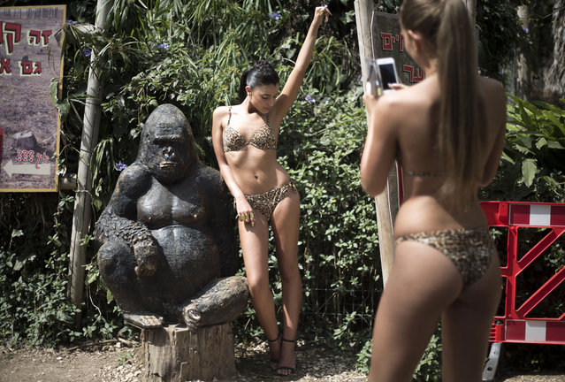 An Israeli model takes a photo of Mor Maman, Miss Israel 2014, posing next to a Gorilla statue and wearing swimwear by Intima after they walked the catwalk during a showing of the summer 2014 collection, in Tel Aviv Ramt Gan Zoological Center near Tel Aviv, Israel, Sunday, March 23, 2014. (Photo by Ariel Schalit/AP Photo)