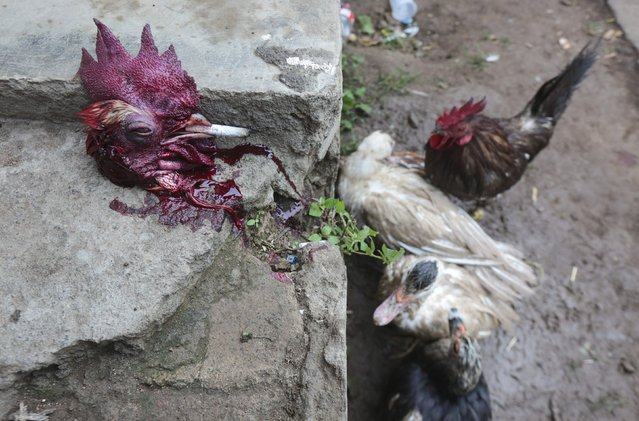 The head of a decapitated rooster is pictured after a rooster run, during celebrations in honour of San Juan Bautista in San Juan de Oriente town, Nicaragua, June 26, 2015. The rooster runs, where horse-riders try to pull the head off live roosters, symbolize the beheading of John the Baptist. (Photo by Oswaldo Rivas/Reuters)