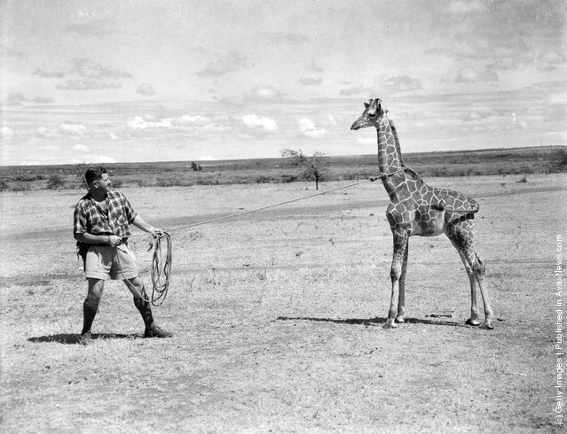 1956: The world's biggest wild animal farmer, Carr Hartley of Rumuruti in Kenya, sells animals to zoos, circuses and film companies