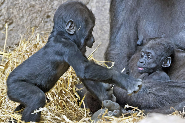 Baby gorilla Jengo, left, stands next to Diara and her mother Kumili at the zoo in Leipzig, Germany, Thursday, April 24, 2014. The baby gorilla Jengo was born on Dec. 2, 2013 and Diara was born during the night between March 10 and 11, 2014. (Photo by Jens Meyer/AP Photo)
