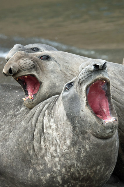 These hilarious photos show some of nature's mightiest animals — yawning away! (Actually – not always; AvaxNews). The images were taken by photographers across the world, from the African savannas to the Pacific Ocean. Here: Three elephant seals that appear to be sining, doing their best impression of the Three Tenors. (Photo by Roie Galitz/Caters News Agency)