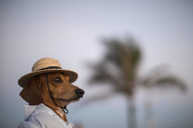 A dog named Caique wears a hat and shirt on Arpoador beach in Rio de Janeiro, Brazil, Saturday, January 18, 2014. Caique's owners said they like to dress Caique up for dog parades and that they enjoy pedestrians taking his picture during his daily walks. (Photo by Felipe Dana/AP Photo)