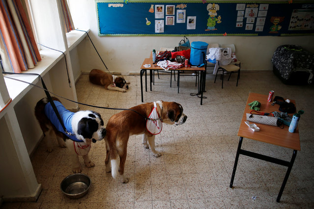 Saint Bernard dogs are seen tied in a class room during an international dog exhibition in Kannot, central Israel May 21, 2016. (Photo by Amir Cohen/Reuters)