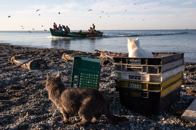 Cats wait by the Black Sea as fishermen arrive with their catch in Sochi, Russia on November 10, 2019. (Photo by Dmitry Feoktistov/TASS)