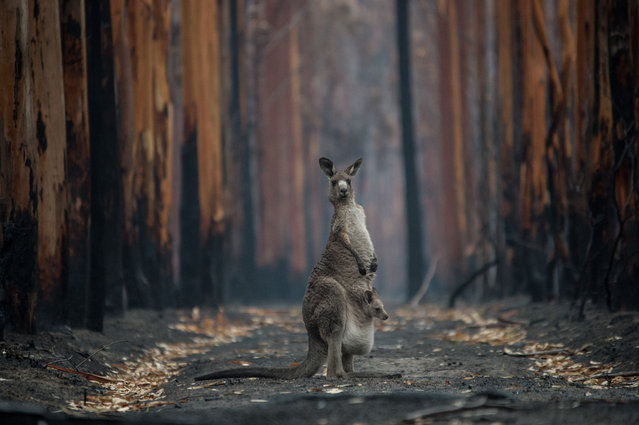 A kangaroo and joey are seen in a burnt forest on Kangaroo Island, south west of Adelaide on January 16, 2020. Australia's continuing bushfire crisis has taken an enormous toll on wildlife, with huge numbers of mammals, birds, reptiles, insects and other species killed. (Photo by Jo-Anne McArthur/Weanimals)