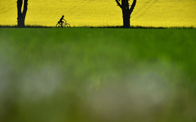 A cyclist drives past a flowering rapeseed field not far from the small Bavarian village of Schoengeising, near Munich, during a nice, warm sunny weather day on May 17, 2017. (Photo by Christof Stache/AFP Photo)