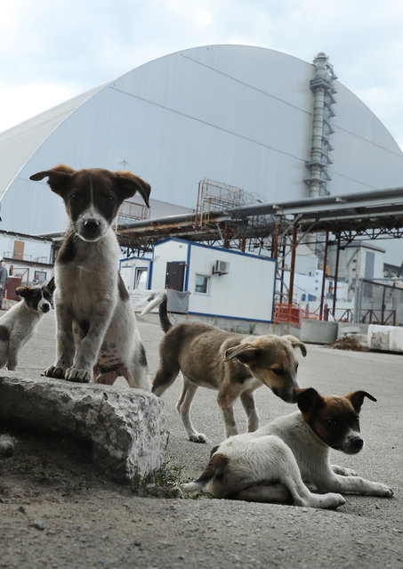 "Stray dogs loiter inside the high-security ""local zone"" outside the new, giant enclosure that covers devastated reactor number four at the Chernobyl nuclear power plant on August 18, 2017 near Chornobyl, Ukraine. (Photo by Sean Gallup/Getty Images)"