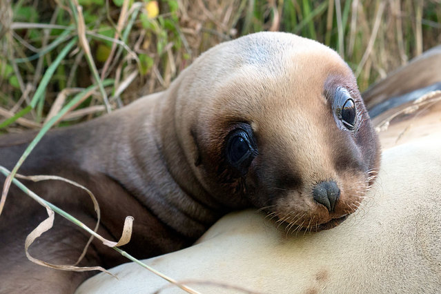 "New Zealand's sea lions are one of the rarest and most threatened sea lions in the world. In 1993, a single female nicknamed ""Mum"" recolonised the mainland after being absent there for the last 100 years. Now most of the mainland population are her direct descendants. (Photo by Christina Karliczek/BBC Pictures/The Guardian)"