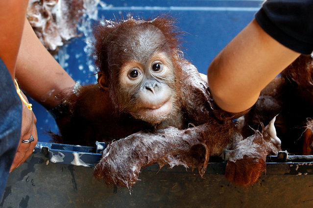 A baby Sumatran orangutan is bathed after arriving at a wildlife center at Ratchaburi province in Thailand  September 13, 2017. (Photo by Kerek Wongsa/Reuters)