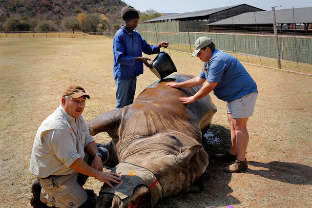 Dr Johan Marais (L) and Dr Zoe Glyphis (R) treat the eight-years-old White Rhino Seha as a game farm staff member pours water on him to keep his temperature down in Bela Bela, South Africa, 07 September 2017. (Photo by Kim Ludbrook/EPA/EFE)