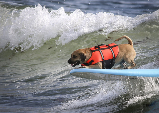 Carly, a 2-year-old pug mix belonging to Kevin Cassidy of Tequesta, competes in the third heat of the medium dogs division at Hang 20 Surf Dog Classic at Carlin Park in Jupiter Saturday, August 29, 2015. (Photo by Bruce R. Bennett/The Palm Beach Post)