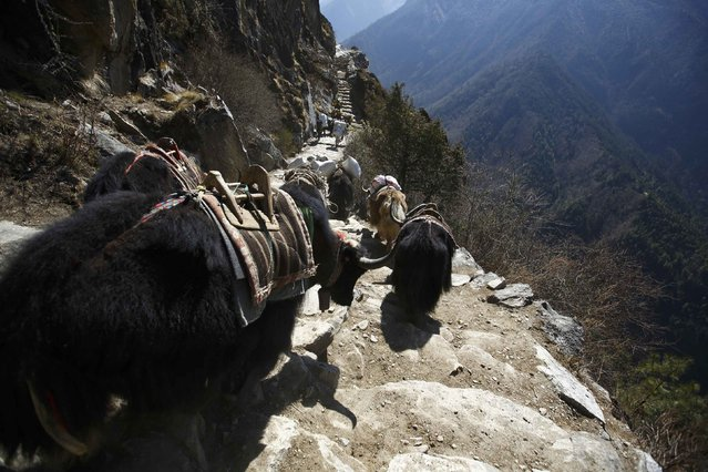 Yaks head towards the Everest base camp in Solukhumbu District April 28, 2014. (Photo by Navesh Chitrakar/Reuters)