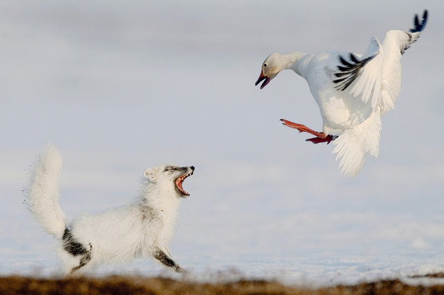 Commended. In late May, about a quarter of a million snow geese arrive from North America to nest on Wrangel Island, in northeastern Russia. They form the world's largest breeding colony of snow geese. Photographer Sergey Gorshkov spent two months on the remote island photographing the unfolding dramas. (Photo by Sergey Gorshkov/Veolia Environnement Wildlife Photographer)