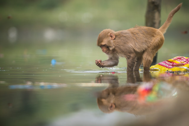 Rhesus Macaque Rhesus Macaque digs through garbage in dirty Waters Of Yamuna on November 16, 2017 in Delhi, India. (Photo by Shams Qari/Barcroft Images)