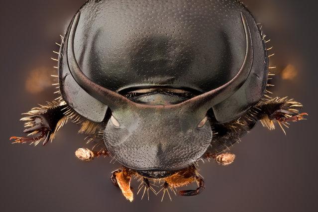Onthophagus taurus ♂ (Schreber, 1759). (Andrea Hallgass)