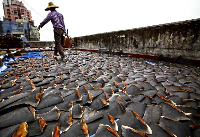 A worker collects pieces of shark fins dried on the roof of a factory building in Hong Kong, January 3, 2013. For centuries, shark fin, usually served as soup, has been a coveted delicacy in Chinese cooking, extolled for its supposed ability to boost sexual potency, enhance skin quality, increase one's energy, prevent heart diseases and lower cholesterol. (Photo by Kin Cheung/Associated Press)