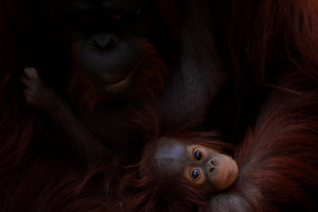 A five-month-old baby female Bornean orangutan (Pongo pygmaeus) looks on as she is held by her mother Sulli at Bioparc Fuengirola in Fuengirola, near Malaga, southern Spain, September 12, 2016. (Photo by Jon Nazca/Reuters)