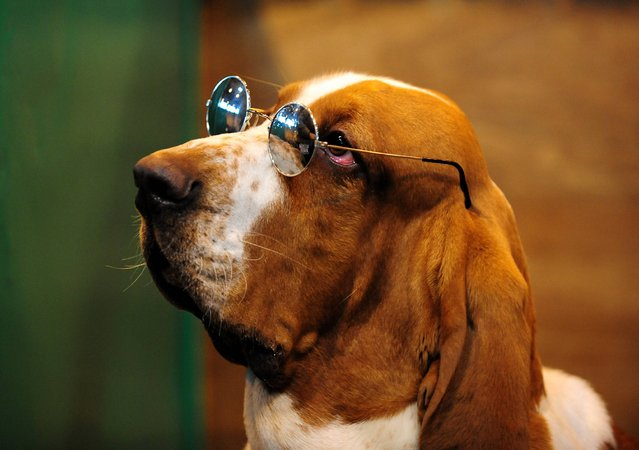 Basset Hound Larry after coming third in class at Crufts 2013, NEC, Birmingham, on March 7, 2013. (Photo by Rui Vieira/PA Wire)