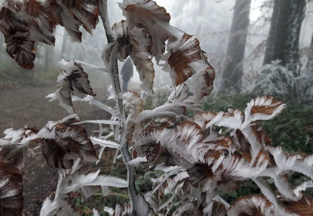 Ice covered trees are pictured at the Taubenberg mountain near Warngau December 2, 2014. Temperatures dropped overnight bringing snow into the southern part of Germany. (Photo by Michael Dalder/Reuters)