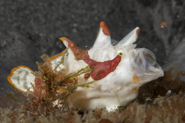A juvenile warty frogfish feeding on a reef near Dumaguete, Philippines. Frogfishes fish for their dinner by extending and wiggling a natural lure called an esca that is on the end of a rod, or illicium. The motion of the lure is intended to attract prey that consists mostly of small fishes and crustaceans. Frogfishes are slow swimmers, but they can open their mouths so fast that it creates a pressure differential in the water that helps them overwhelm and suck in their prey. Frogfishes are believed to be able to open their mouth faster than any other known animal. (Photo by Marty Snyderman/Caters News Agency)