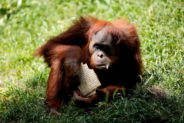 An orangutan eats matza, a traditional unleavened bread eaten during the upcoming Jewish holiday of Passover, in the Ramat Gan Safari Zoo, near Tel Aviv, Israel March 27, 2018. (Photo by Amir Cohen/Reuters)