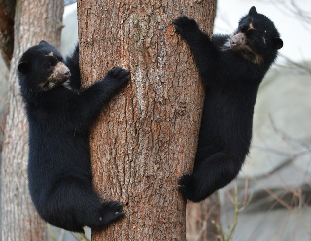Andean bear twin brothers Tupa and Sonco climb a tree in their enclosure at the zoo in Frankfurt am Main, western Germany on December 25, 2014. The Andean bear twin brothers Tupa and Sonco were born on December 25, 2013. (Photo by Arne Dedert/AFP Photo/DPA)