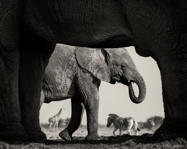 Natural frame by Morkel Erasmus. Finalist, Black & White. Elephants, zebras and giraffes at a waterhole in Namibia's Etosha national park. (Photo by Morkel Erasmus/Wildlife Photographer of the Year 2015)