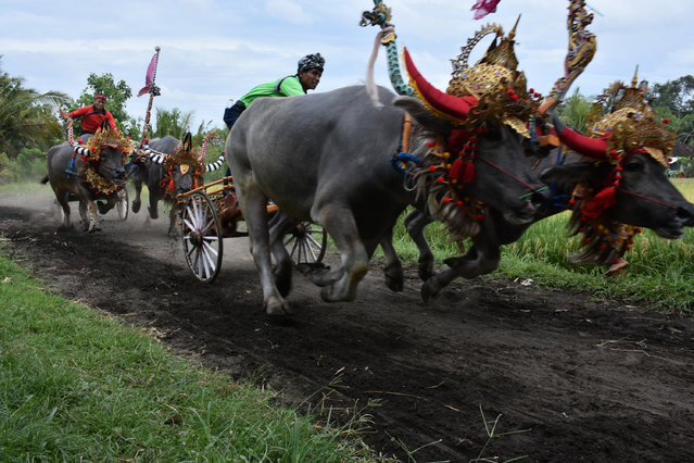 Jockeys spur buffalos during the Makepung buffalo races at Jembrana in Bali, Indonesia on October 23, 2016. Makepung is a tradition for farmers to celebrate a bumper harvest in Bali. (Photo by Kadek Raharja/Xinhua/Barcroft Images)