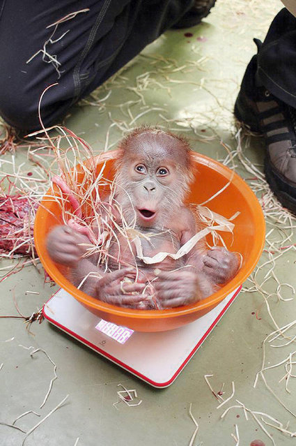 This female orangutan was born at the zoo in the German capital of Berlin.  German online users have fallen in love with Berlin Zoo's most recent addition – this newborn orangutan. (Photo by Europics/Zoo Berlin)