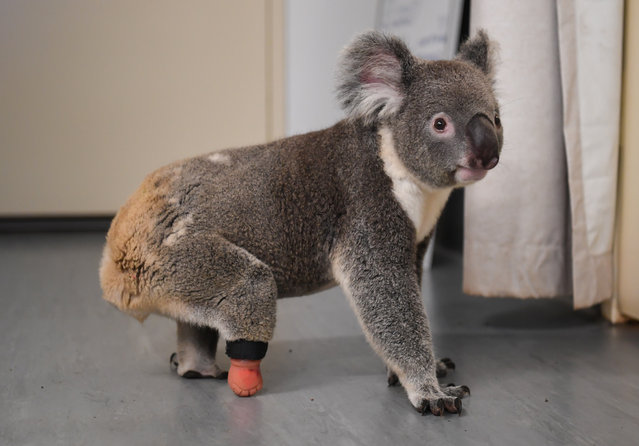 Triumph the koala exploring the vet clinic at Friends of the Koala with his new prosthetic limb attached to his right foot on February 24, 2021 in Lismore, Australia. Triumph the koala was taken into care in 2017 after being found with his dying mother on a property in Lismore in northern New South Wales. Vets soon discovered Triumph's missing foot, a birth defect that affected his ability to move and sometimes caused him pain. After a long search by Triumph's carers at Friends of the Koala for someone who could successfully make a prosthetic koala foot, the solution came from a local prosthetic dentist in Lismore, Jon Doulman, who took a cast of Triumph's stump and created a prosthetic boot-like attachment made from rubber and attached with velcro. The five-year-old koala was recently fitted with his new foot, and immediately began grooming, climbing and crawling with the prosthetic in place. (Photo by James D. Morgan/Getty Images)