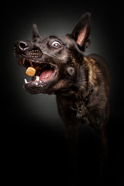 """A Dutch shepherd. """"When I meet my clients – the dogs – I don't know where the journey will end"""". (Photo by Christian Vieler/Caters News)"""