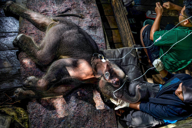 A Sumatran elephant calf receives medical attention at the Saree elephant conservation centre in Saree, Aceh province on February 15, 2021, following the three week-old pachyderm's rescue in Pidie district after being stuck in mud. (Photo by Chaideer Mahyuddin/AFP Photo)