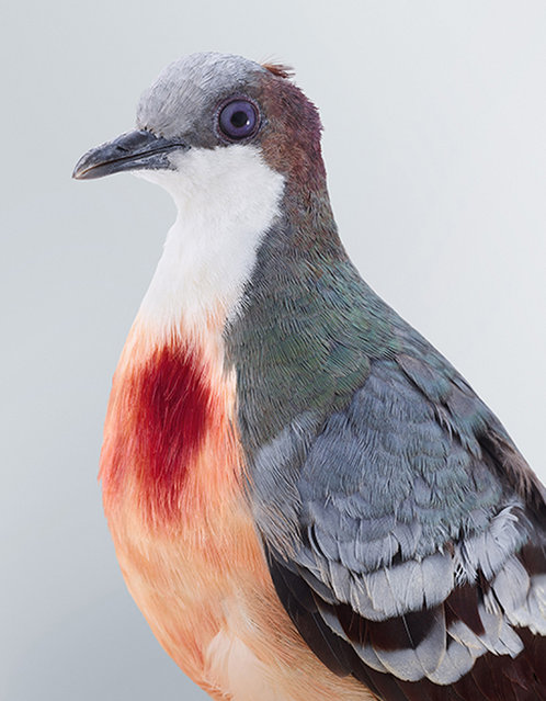The idea for the series, named Ornithurae, came to Sydney-based Jeffreys three years ago, after she witnessed the amazing plumage of a wompoo pigeon firsthand. (Photo by Leila Jefferies/Caters News Agency)