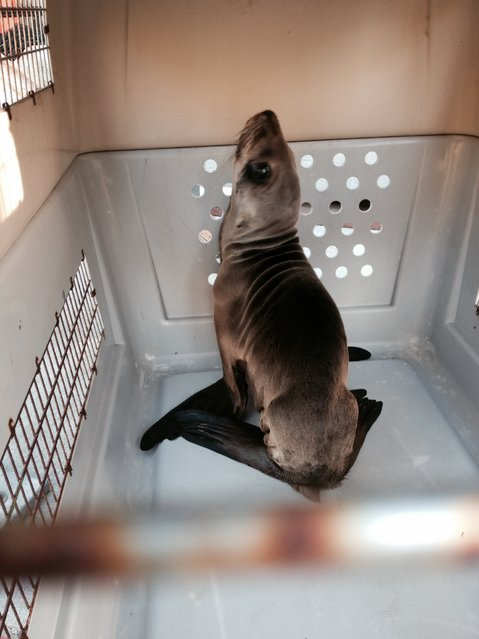 An emaciated young sea lion that was probably looking for food was rescued along a major boulevard in San Francisco, more than 1,000 feet from the ocean is seen in a cage at the the Marine Mammal Center in Sausalito, California on Wednesday, February 11, 2015. (Photo by AP Photo/National Park Service)
