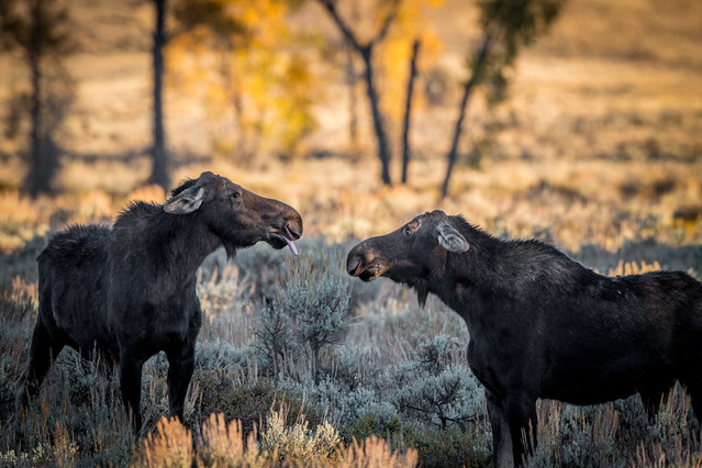 A moose communicates with its tongue. (Photo by Barney Koszalka/Barcroft Images/Comedy Wildlife Photography Awards)