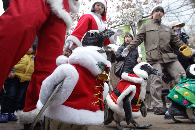 Penguins dressed in Santa costumes are paraded at Everland, South Korea's largest amusement park on December 18, 2013 in Yongin, South Korea. (Photo by Chung Sung-Jun/Getty Images)