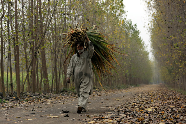 A man carries fodder as he walks along a road in Peshawar, Pakistan on December 10, 2018. (Photo by Fayaz Aziz/Reuters)