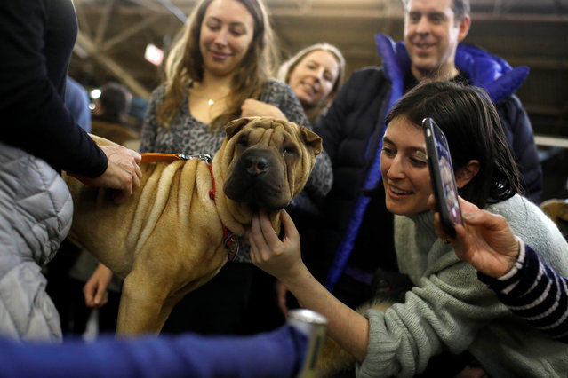 Nala, the Chinese Shar-Pei, is greeted during the AKC Meet the Breeds event ahead of the 143rd Westminster Kennel Club Dog Show in New York, February 9, 2019. (Photo by Andrew Kelly/Reuters)