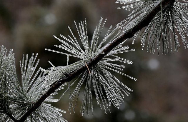 Ice coats pine needles following a snow and ice storm in Chapel Hill, N.C., Thursday, February 13, 2014. (Photo by Gerry Broome/AP Photo)