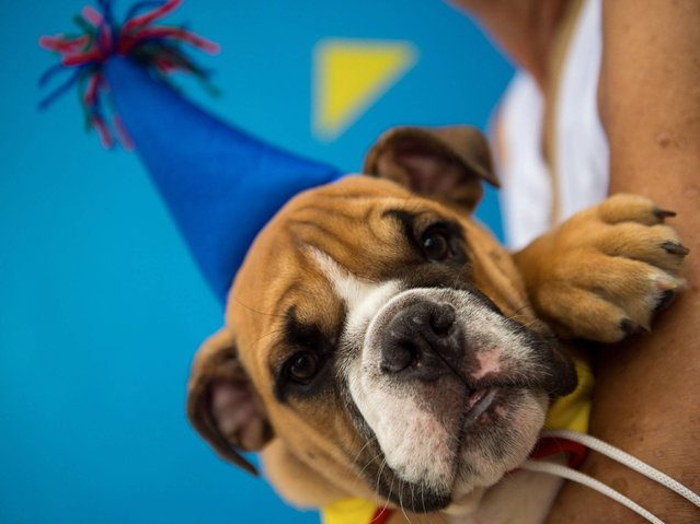 "A 10-man brass band and a singer belting out Rio's anthem song ""Cidade Maravilhosa"" (Marvelous City) kicked off the four-footed fest as dog owners gathered to party down with pooches on Copacabana beach. (Photo by Christophe Simon/AFP Photo)"